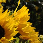 Sunflowers_Flower_Show